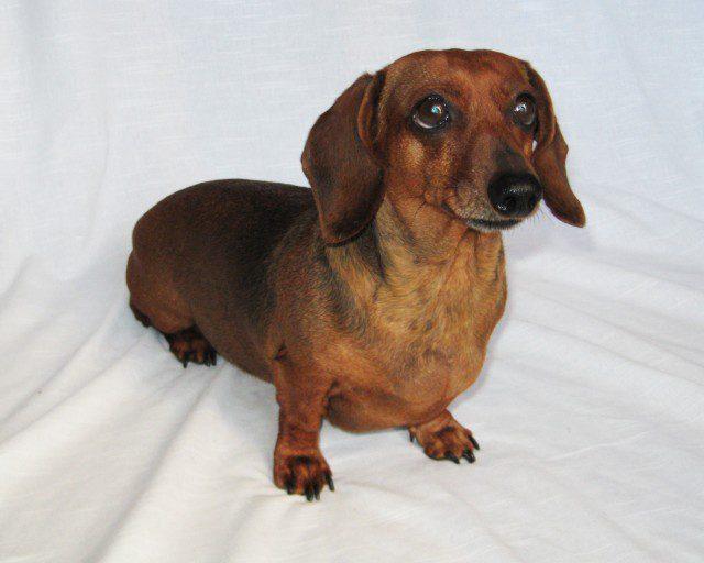 Weiner Dog Wiener dog popcorn